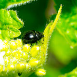 Leaf beetle Stock Photos