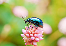 Leaf Beetle Stock Photography