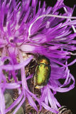 Leaf beetle (chrysomelidae) feeding on purple flow Royalty Free Stock Photography