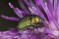 Leaf beetle (chrysomelidae) feeding on thistle Stock Photo