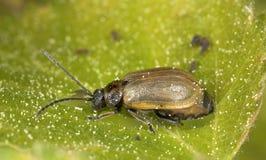 Leaf beetle (Chrysomelidae) sitting on leaf Stock Photography