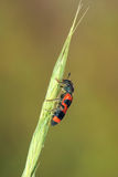 Leaf beetle. The close-up of a black and red leaf beetle(Mylabris variabilis) on grass Stock Image