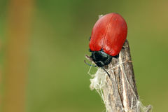Leaf beetle. The close-up of a red leaf beetle(Scientific name:Chrysomela populi Royalty Free Stock Image