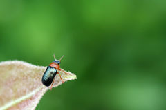 A leaf beetle has a rest on the leaf Royalty Free Stock Photo