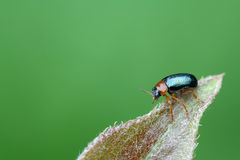 A leaf beetle has a rest on the leaf Royalty Free Stock Image
