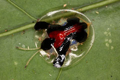 Leaf beetle like a drop of water and reflected therein. royalty free stock images