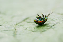 On leaf beetle is a little paws up Stock Photo