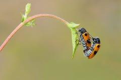 Leaf beetle Stock Photo