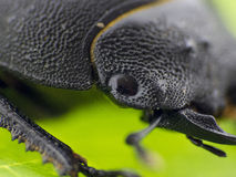 Leaf beetle - Prasocuris Junci Stock Photos