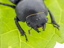 Leaf beetle - Prasocuris Junci Stock Photography