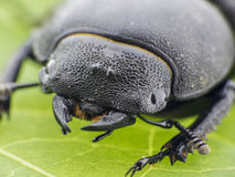 Leaf beetle - Prasocuris Junci Stock Images