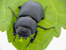 Leaf beetle - Prasocuris Junci Royalty Free Stock Photography