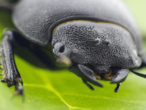 Leaf beetle - Prasocuris Junci Stock Photo