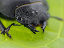 Leaf beetle - Prasocuris Junci Stock Image