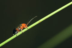 Leaf beetle Royalty Free Stock Photo