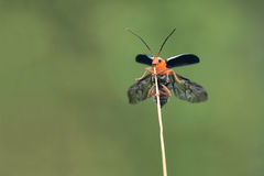 Leaf beetle. The leaf beetle is about to take off royalty free stock photography