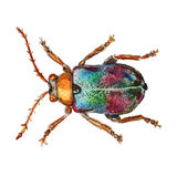 Leaf beetle watercolor illustration. Royalty Free Stock Photos
