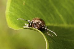 Leaf beetles Royalty Free Stock Images