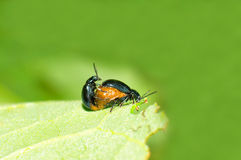 Leaf beetles Royalty Free Stock Image