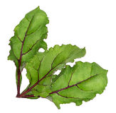 Leaf of beetroot on white. Background Royalty Free Stock Photos