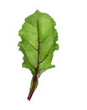 Leaf of beetroot on white Stock Photos