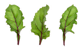 Leaf of beetroot on white. Background Royalty Free Stock Images
