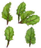 Leaf of beetroot on white. Background Royalty Free Stock Photography
