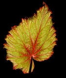 Leaf of begonia Royalty Free Stock Images