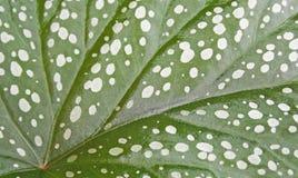Leaf Begonia Royal (Begonia rex). Background. Royalty Free Stock Photos
