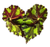 Leaf begonias in the form of heart Stock Photography