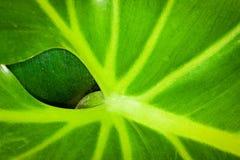 A leaf behind a leaf. Houseplant leaf nature plant veins waxy Stock Image
