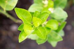 Leaf of bergamot Royalty Free Stock Photos