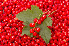 Leaf and berry red currant Royalty Free Stock Photography