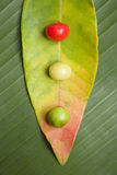 Leaf and Berry Still Life. Nature still life with red yeloow and green berries on leaves Royalty Free Stock Photo