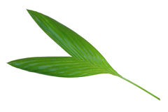 Leaf of betel palm Royalty Free Stock Photo