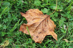 Leaf. Big brown leaf that fell from a tree Royalty Free Stock Photos