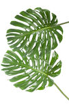 Leaf of a big monstera in white Stock Photography