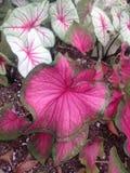 Leaf. Big red leaf Royalty Free Stock Image