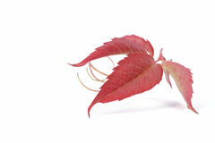 Leaf of bindweed. On the white background Stock Photo