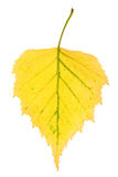 Leaf of birch Royalty Free Stock Photos