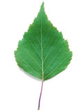 A Leaf of a Birch Stock Photography