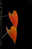 Leaf on black background Stock Photography