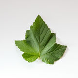 Leaf of black current berry Royalty Free Stock Photo