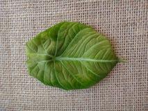 Leaf - Black velvet, elephant`s ear or dwarf alocasia Royalty Free Stock Photos