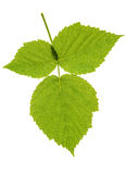 Leaf blackberry on isolated Stock Photography