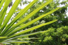 Leaf blade is one of plant in kalimantan Stock Images