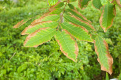 Leaf blight of Nephelium lappaceum or rambutan lack of potassium Stock Images