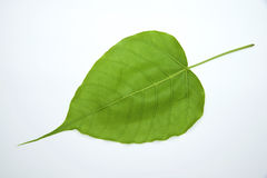Leaf of Bodhi Tree Royalty Free Stock Photo