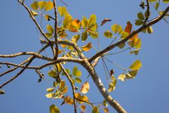 Leaf of  Bombax ceiba tree. Leaf of Bombax ceiba tree with blue sky background Royalty Free Stock Photography