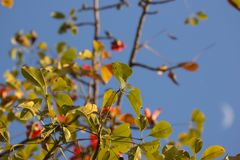 Leaf of  Bombax ceiba tree. Leaf of Bombax ceiba tree with blue sky background Stock Photo